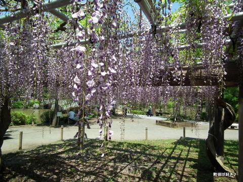 20120505163薬師池公園の藤の花
