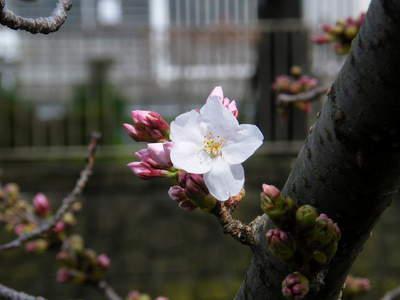 2009032011.jpg 恩田川の桜