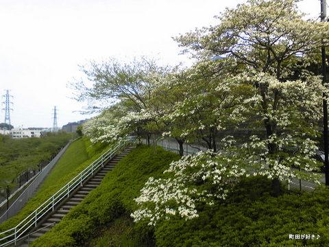 2010042913ハナミズキ(花水木)