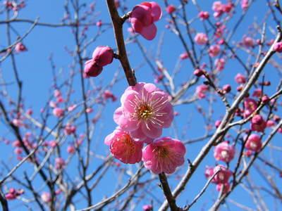 20090208044.jpg 薬師池公園の梅の花