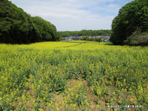 20140428073七国山の菜の花畑