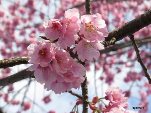 2016031912早咲きのサクラとインコ?@恩田川
