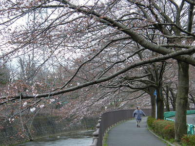 2009032809.jpg 恩田川の桜、1分咲きから3分咲き