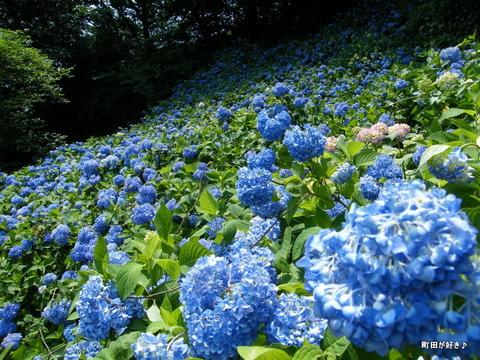 20100612158町田えびね苑<アジサイ>