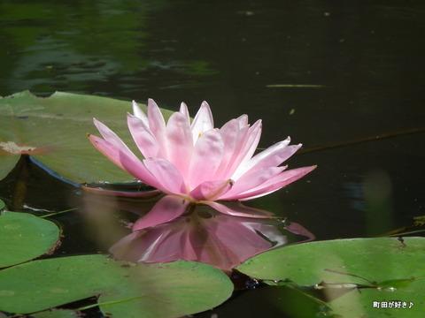 20110723086薬師池公園の睡蓮の花