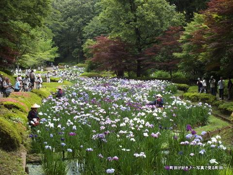 2013060810薬師池公園の花菖蒲が見ごろです