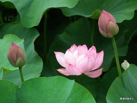 2012071430薬師池公園の大賀ハス