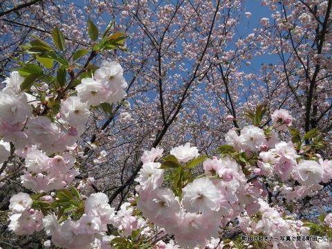 20140412047八重桜(ヤエザクラ)@城山公園(成瀬城跡)