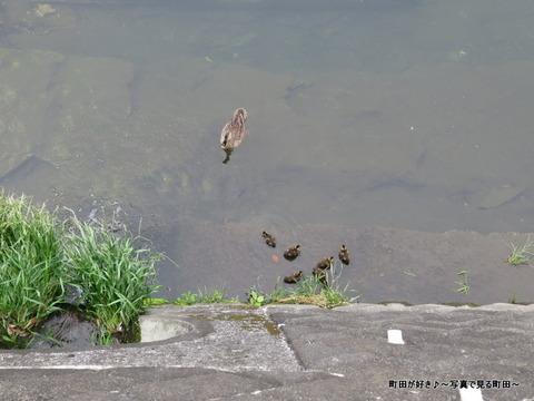2014052503成瀬クリーンセンター裏のカルガモの子供たち
