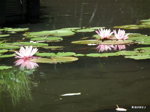 20110723099薬師池公園の睡蓮の花