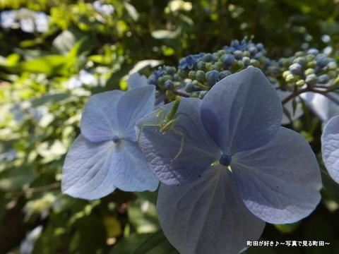 2013060860紫陽花と蜘蛛?