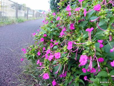 2010101102オシロイバナ(白粉花)