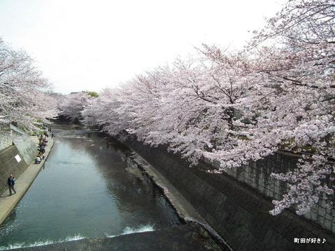 20110410187恩田川・高瀬橋の桜