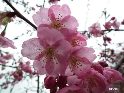 2012032428南大谷中まえの早咲きの桜