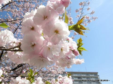 20140412045八重桜(ヤエザクラ)@城山公園(成瀬城跡)