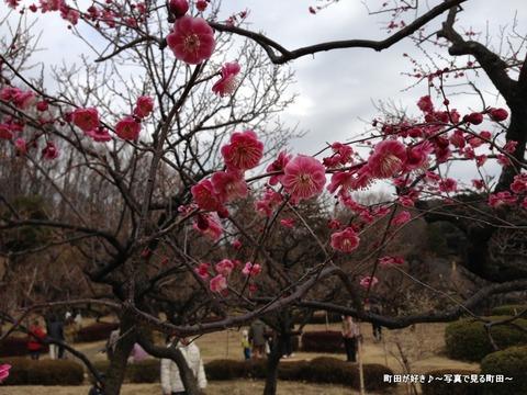 20130303118薬師池公園の梅の花