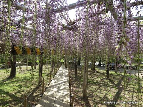 20140428153薬師池公園の藤の花