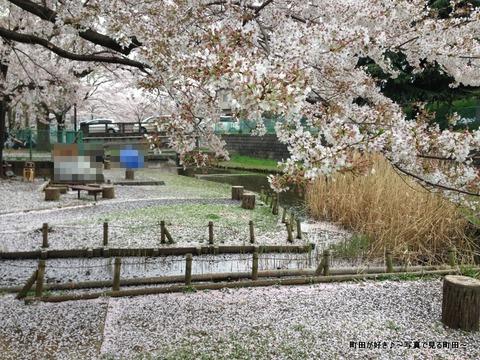 20130331076弁天橋公園のサクラが綺麗でした