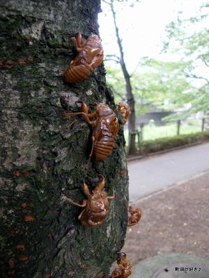 20100808013セミ(蝉)の抜け殻