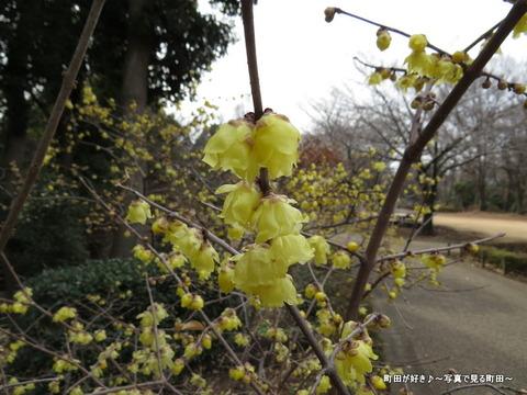 2014010432忠生公園のロウバイ