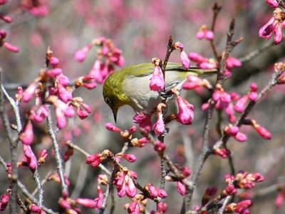 20090221029.jpg カンヒザクラ(寒緋桜)とメジロ(目白)