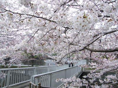 20090404065.jpg 恩田川の桜が見頃です