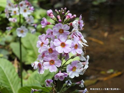 20130429064町田えびね苑、2013年開花の様子