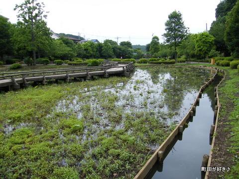 20100529266薬師池公園のハス田