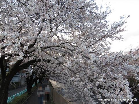 20140330118恩田川沿いの桜並木