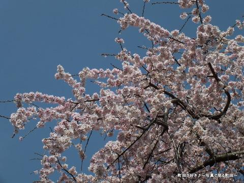 2013032039成瀬の紅しだれ桜