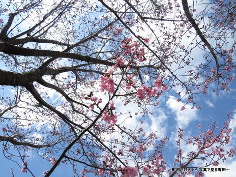 2014032133恩田川沿いの早咲きのサクラ