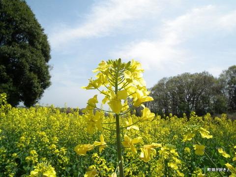 20110416016七国山の菜の花畑