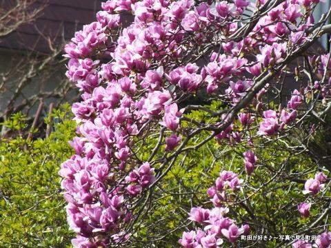 2013032071紫色のモクレンの花が満開です@恩田川