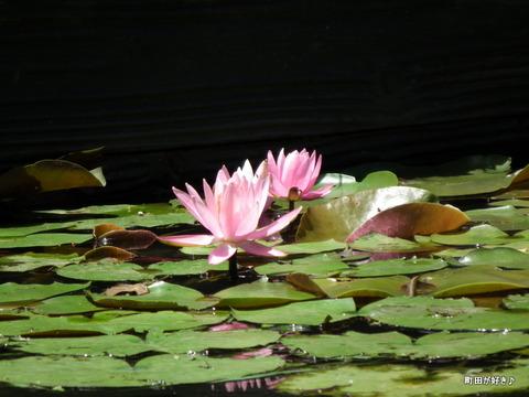 20110723098薬師池公園の睡蓮の花