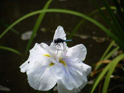 20090613042.jpg オオシオカラトンボ 薬師池公園