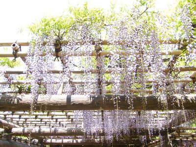 20090429079.jpg 薬師池公園の藤棚