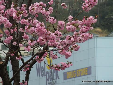20130330070道端の八重桜@成瀬