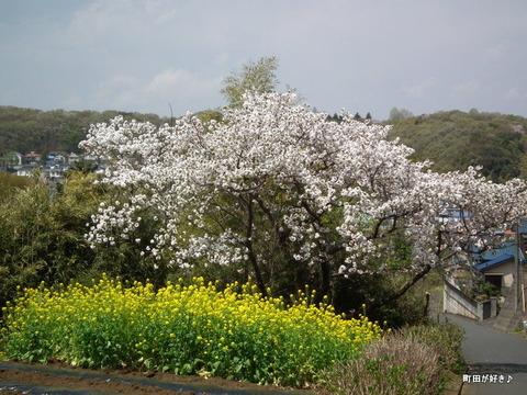 20110416073八重桜@野津田町