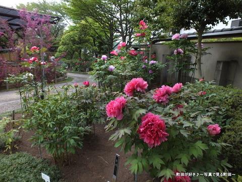 20130420193町田ぼたん園