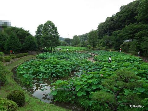 2012071420薬師池公園の大賀ハス