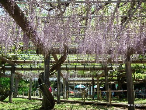 20120505176薬師池公園の藤の花