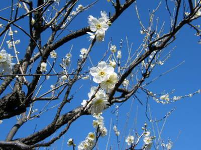 20090208046.jpg 薬師池公園の梅の花