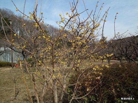 2011012945薬師池公園ロウバイ