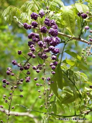 20140428133薬師池公園の藤の花