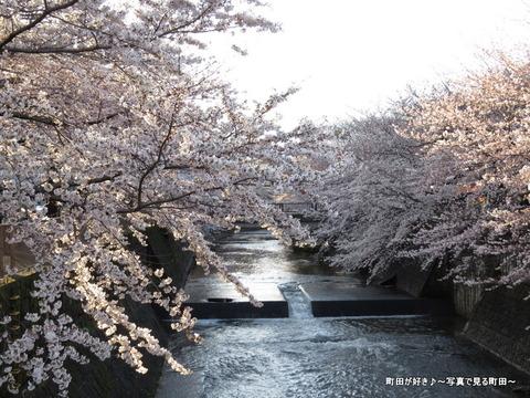 20140330054恩田川沿いの桜並木