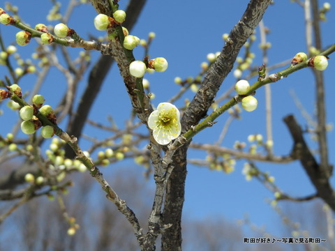 20140222077雪と梅の花@薬師池公園