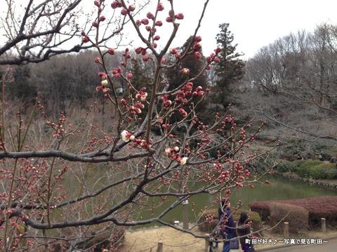 20130303125薬師池公園の梅の花