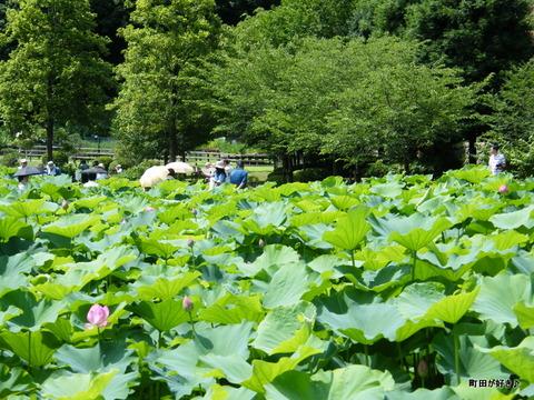 2010071008薬師池公園大賀ハス