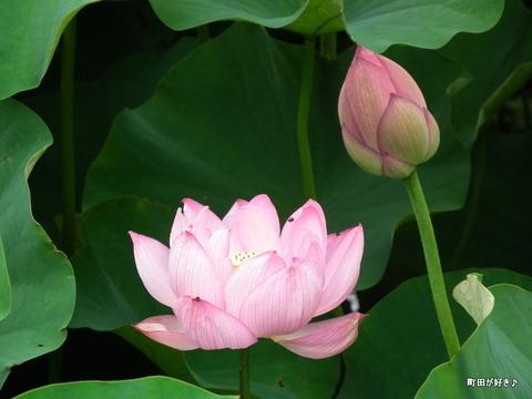 2012071408薬師池公園の大賀ハス