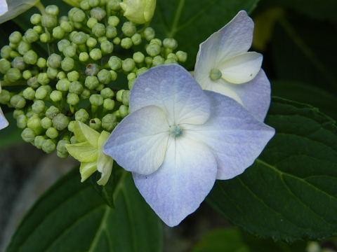 20080607079.jpg あじさい アジサイ 紫陽花